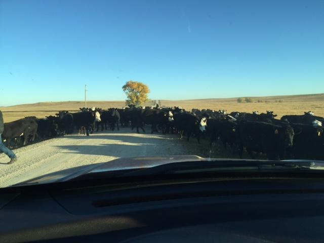 cows Atall trip